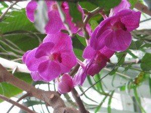 img_2665-300x225 orchidées